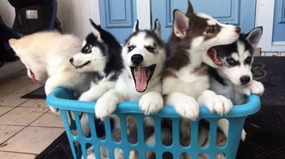 Husky Puppies: Everything You Need to Know