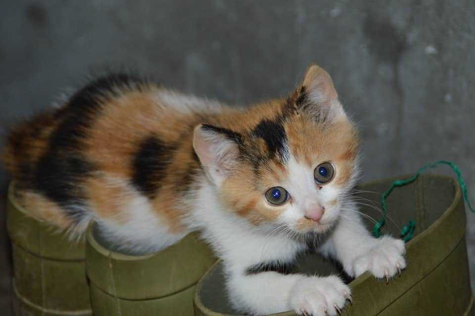 Calico Kittens: Everything You Need to Know