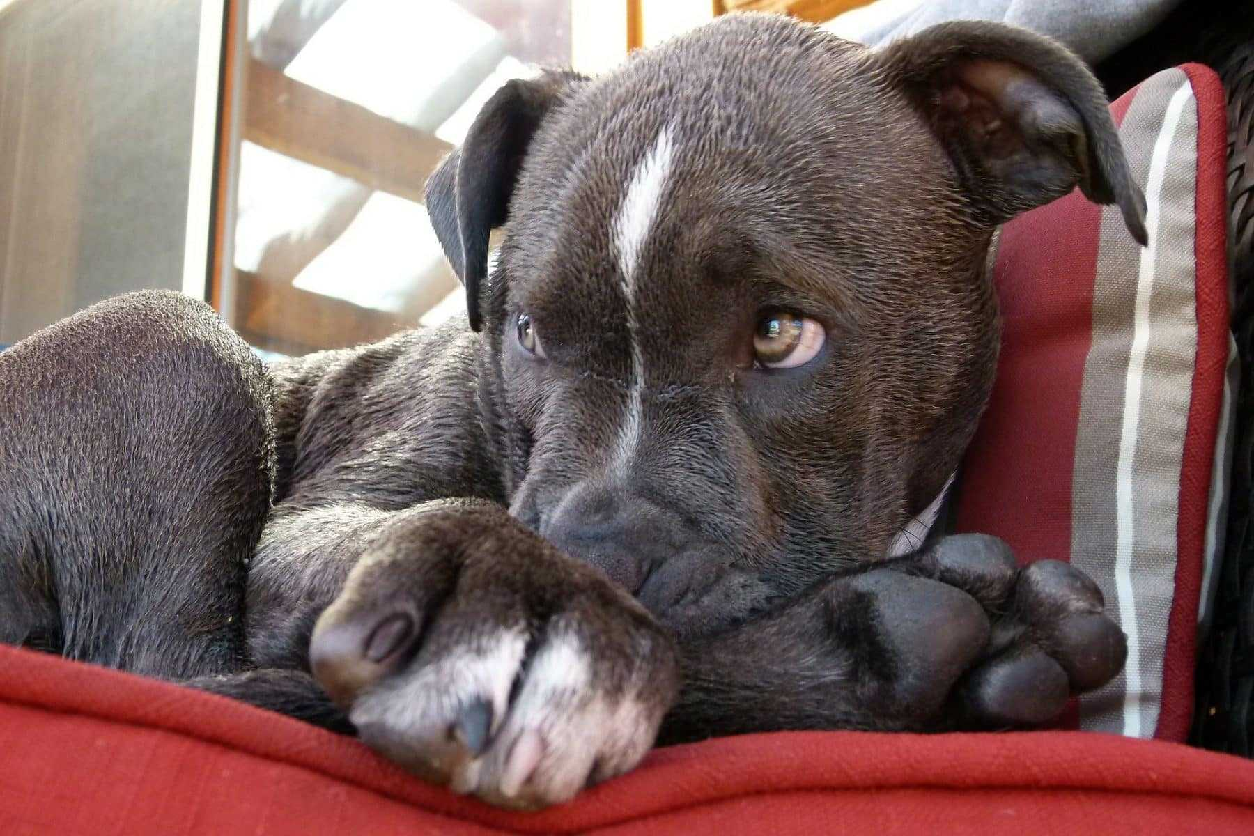 Pit Bull Puppies: Everything You Need to Know