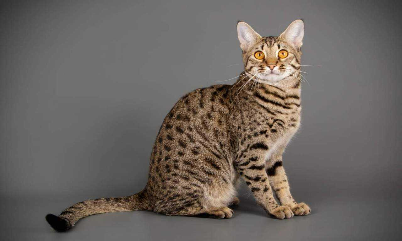 10 Cat Breeds with Big Ears