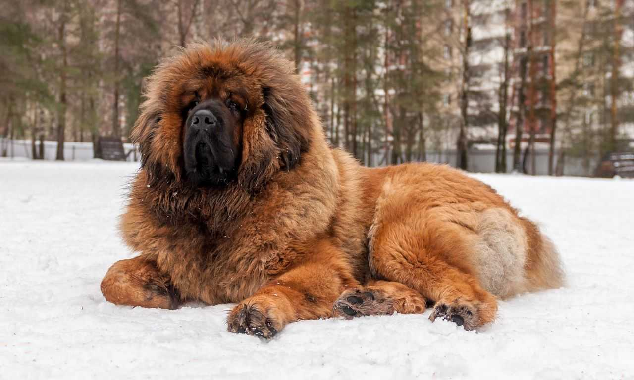 8 Big Fluffy Dog Breeds