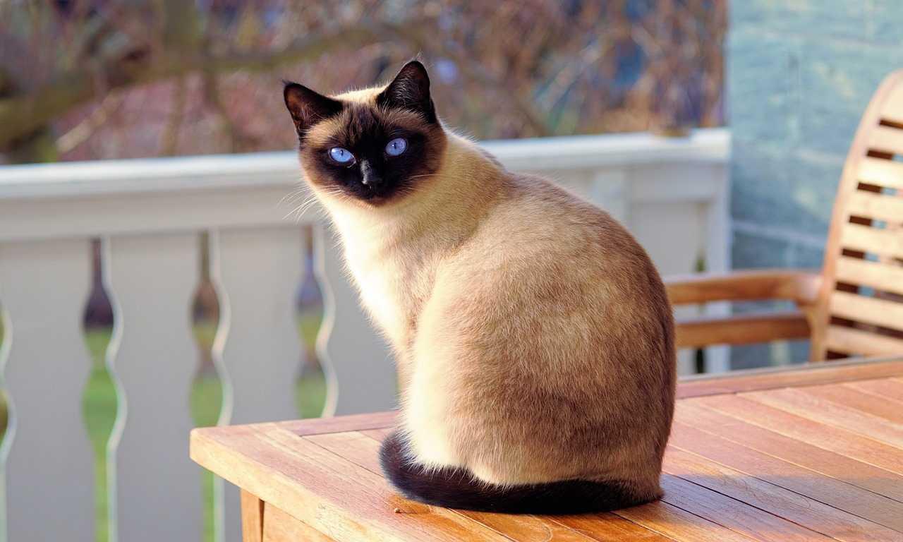 6 Small Cat Breeds