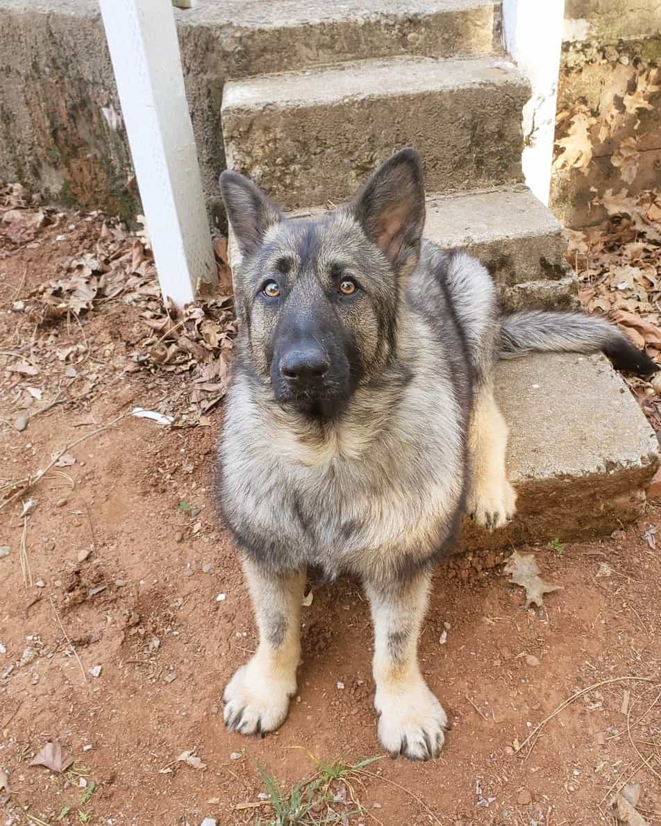 Dwarf German Shepherd: Everything About the Breed