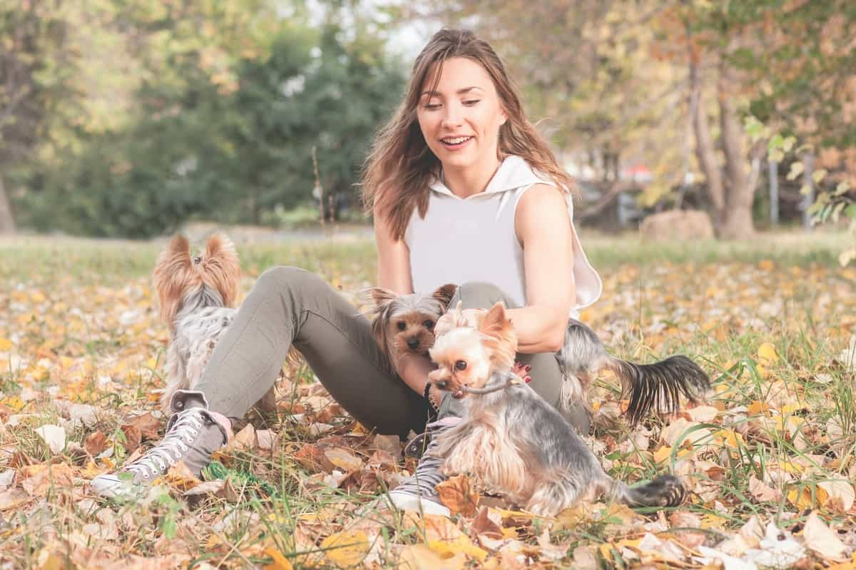 10 Best Yorkshire Terrier Rescues for Adoption: Our Top 10 Picks