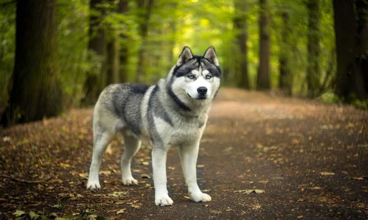These Stunning Dogs Look Just Like Wolves