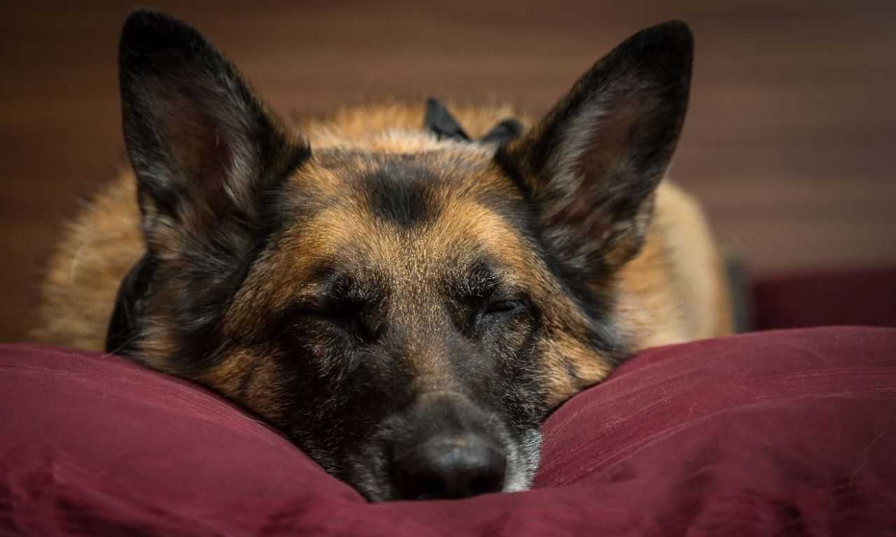 Why Does German Shepherd Breathe Heavily While Sleeping?